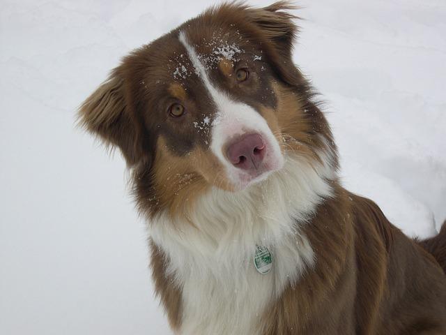 L'histoire des chiens de traîneau